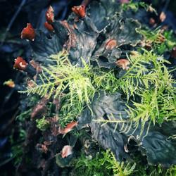 Mosses & lichen on ancient Oaks