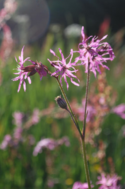 Ragged Robin at Solva