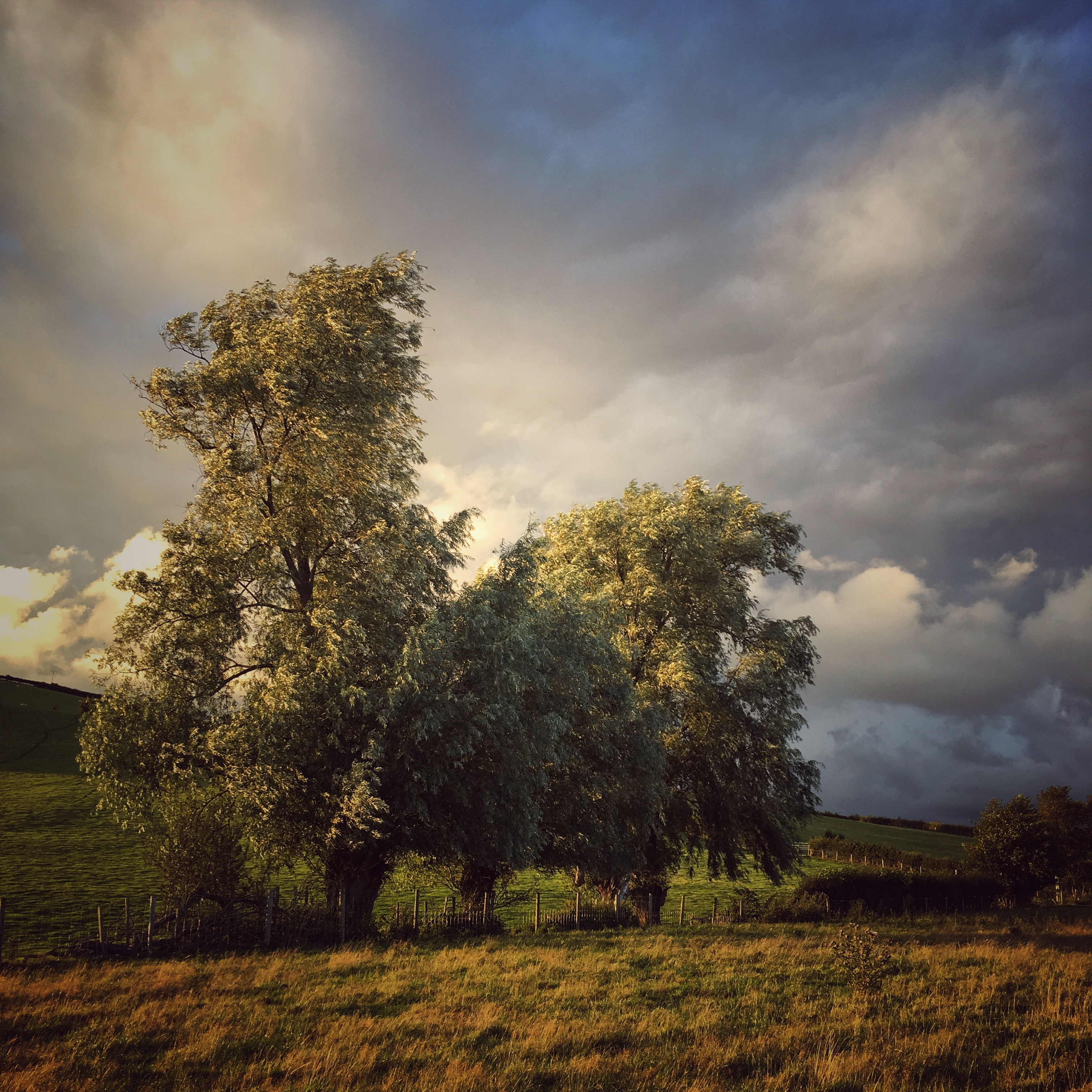 Willows in Stormy Light