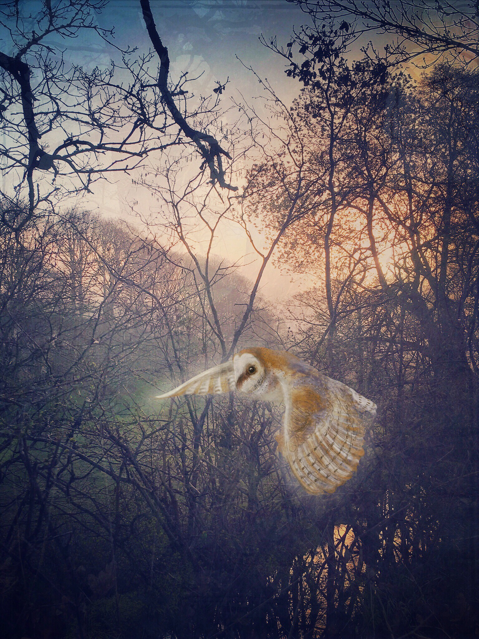 Barn Owl over Weir Farm