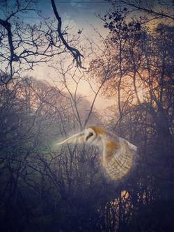 Barn Owl over Weir Farm