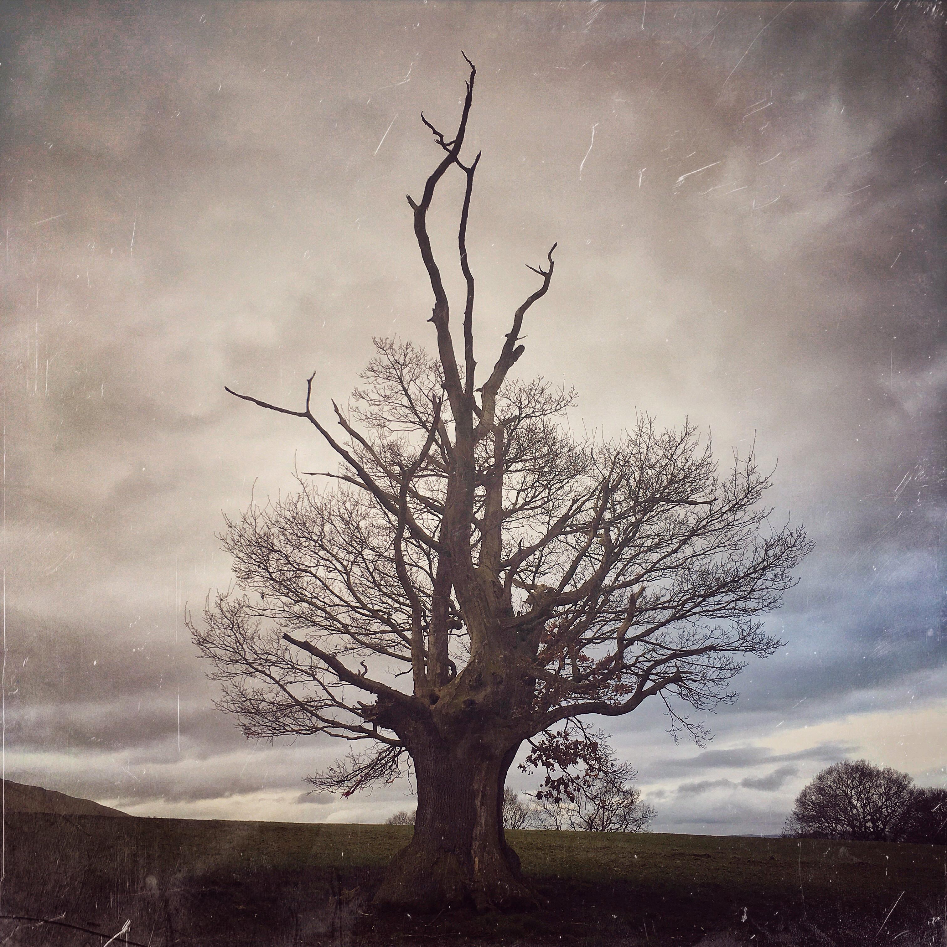 Staghorned old Oak, Rorrington