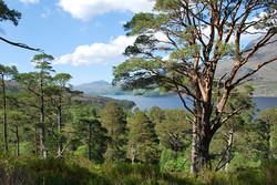 Ancient Pine forest, Ben Eighe