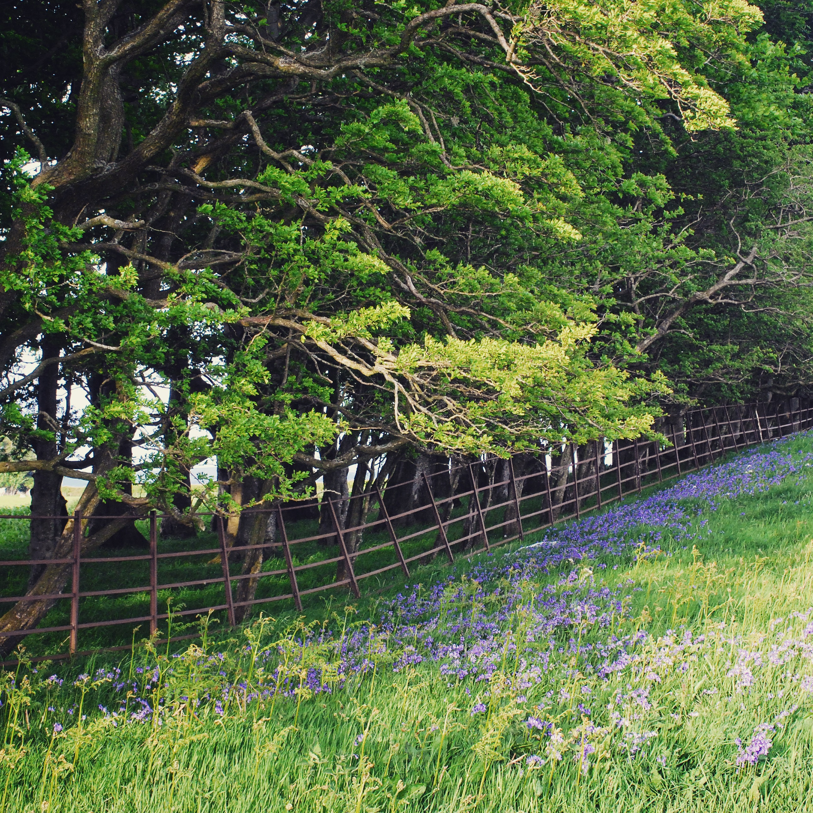 The Joy of Bluebells and Beech Trees