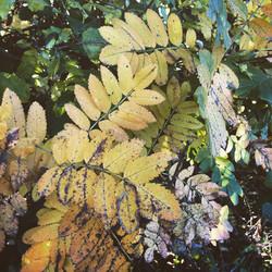 Gentle Yellows of Autumn Ash