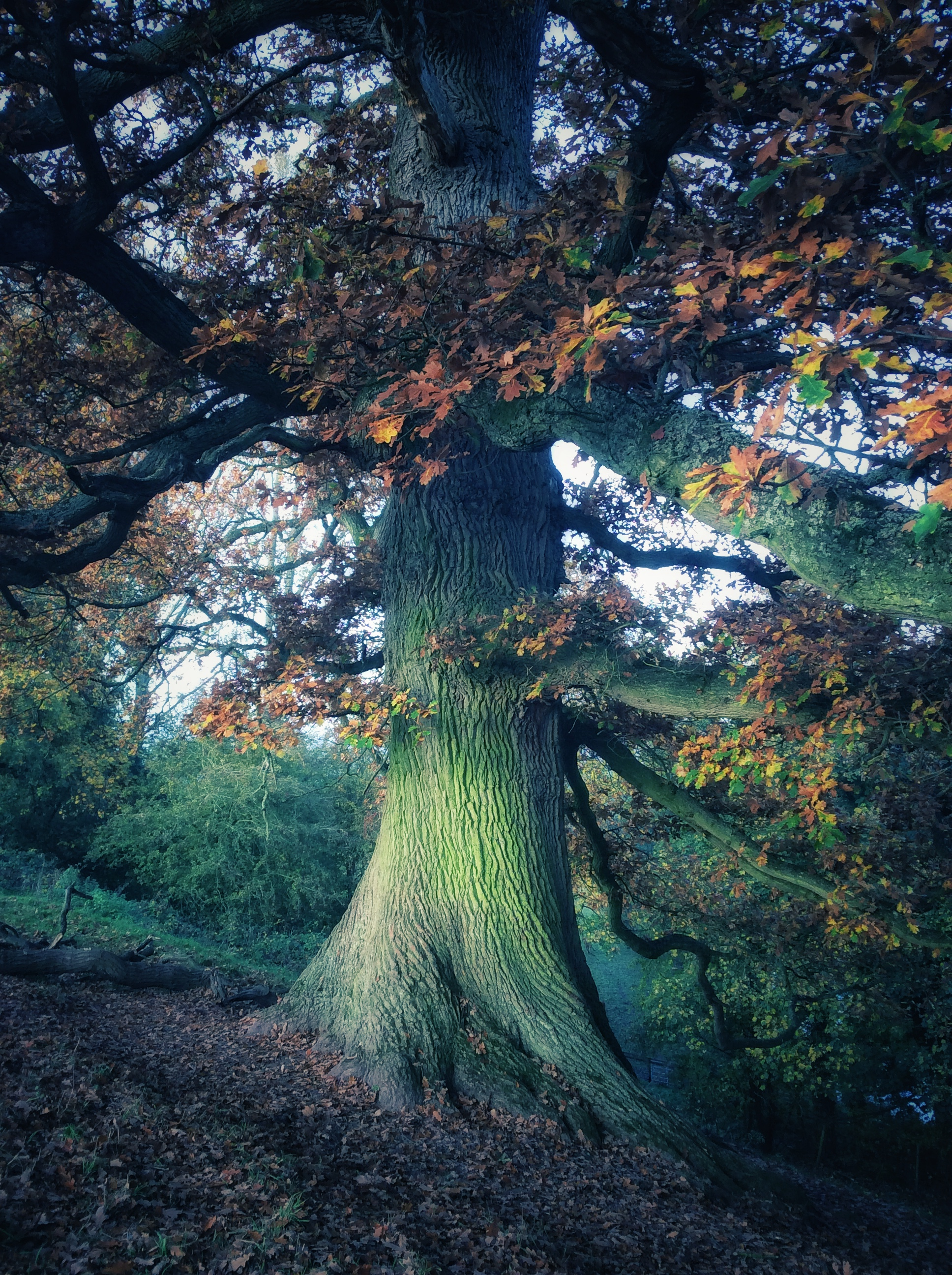 Oak emanating Light