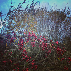 Wintry Rosehips and Willow