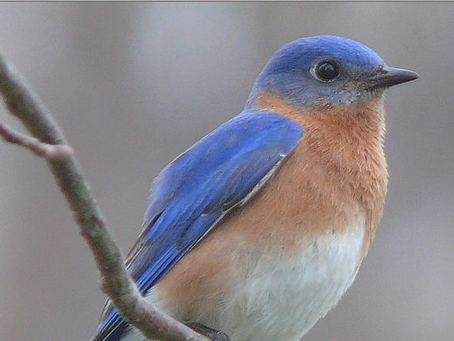 Earth Day & The Bluebirds