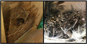 Flattened nest of a Tree Swallow, after nestlings fledged.