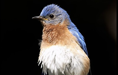 Mr. Bluebird's on My Shoulder