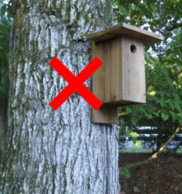 Avoid mounting bluebird nestboxes on trees where climbing predators can easily access entrance hole.