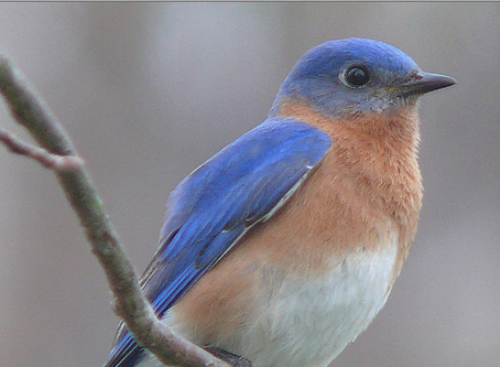 Watershed Institute's Bluebird Restoration Project