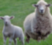 SheepLambStock.jpg