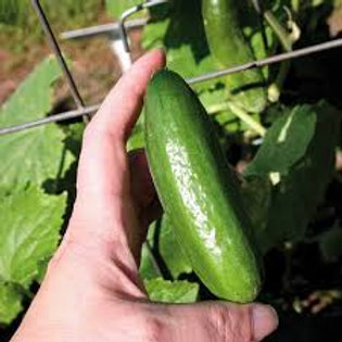 Organic Miniature cucumber