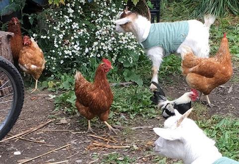 Goats & Chickens-C_101420.jpg
