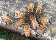 Honeybees-C2_101420.jpg
