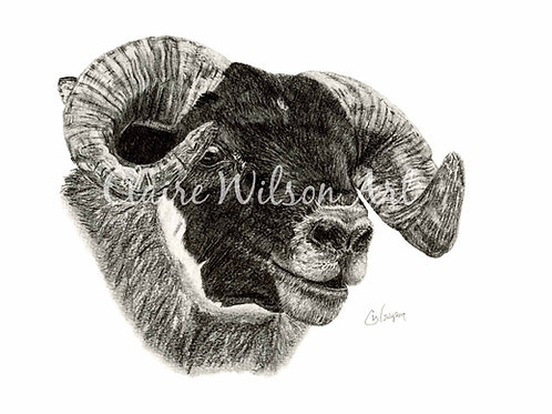 'Bruichladdich' - Blackface Tup Lamb