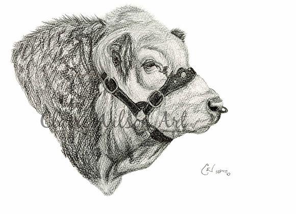 'Shiloh Freedom' - Simmental Bull