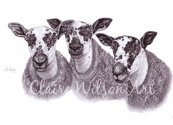 'Marr Mules' - Mule Ewes