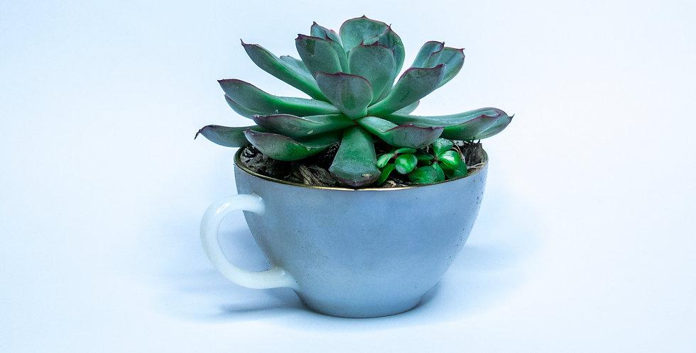 Succulente en tasse