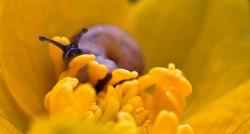 Schneckerl in der Dotterblume