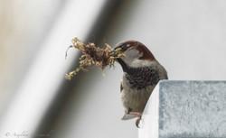 Spatz beim Nestbau