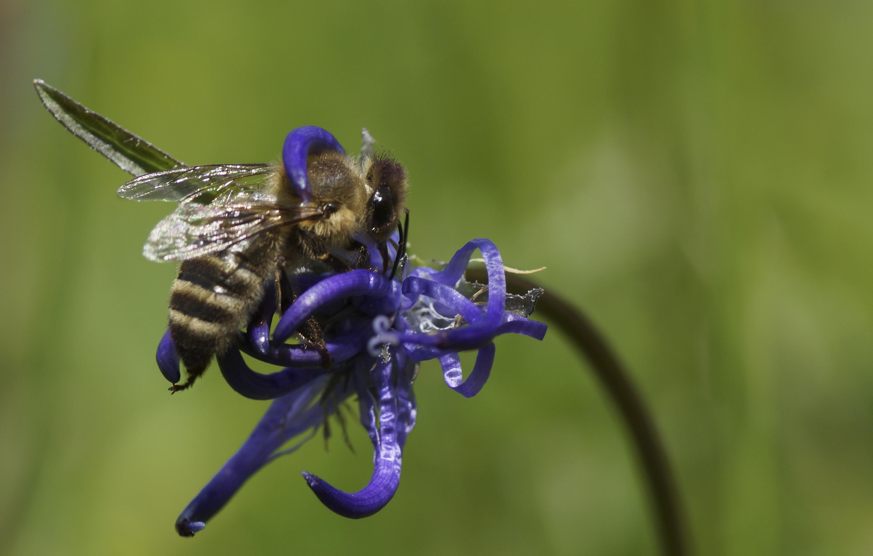 Biene in der Teufelskralle