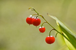 Maiglöckchen Früchte