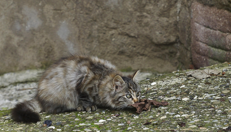 toskanisches Kätzchen
