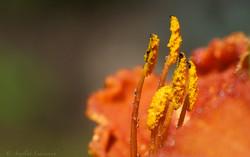 Staubgefäße einer Lilie