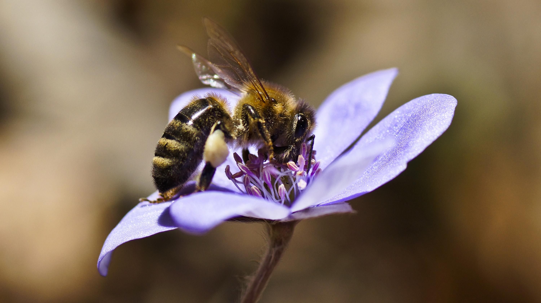 Biene auf Leberblümchen