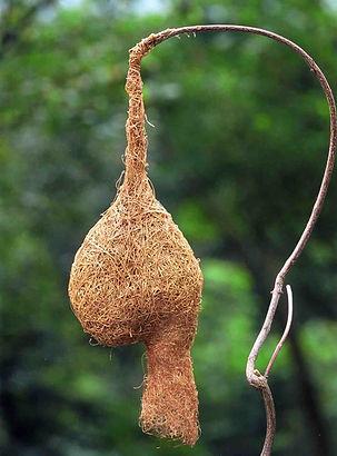 キムネコウヨウジャクの巣
