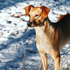 Ken, chien de l'aventure blanche - le vercors en traineau