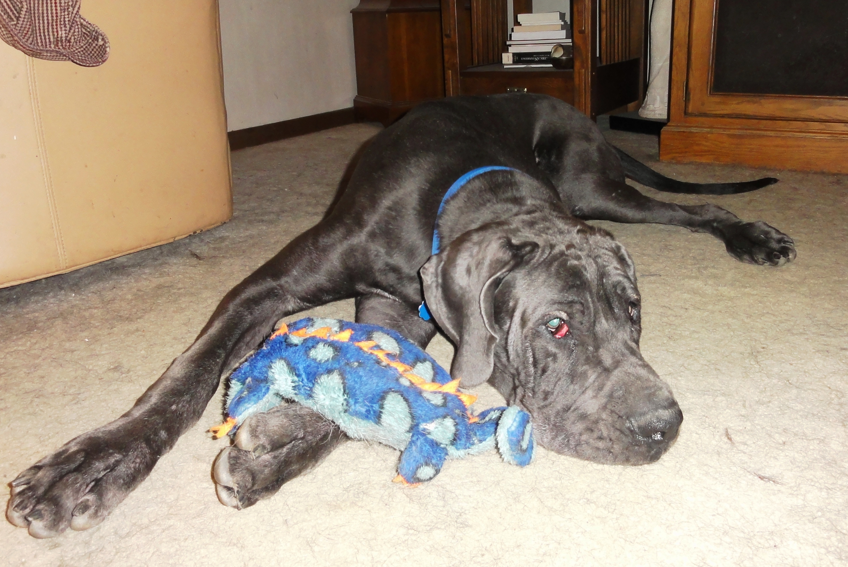 Blue laying down with toy.jpg