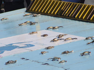 crabs on the racing platform