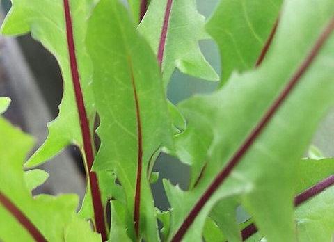 Chicory - Red Dandelion