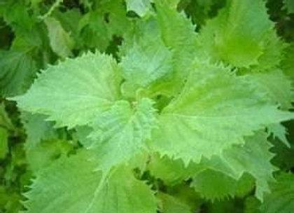 Green Parilla/Shiso