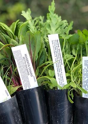 Basilea seedlings with nametags