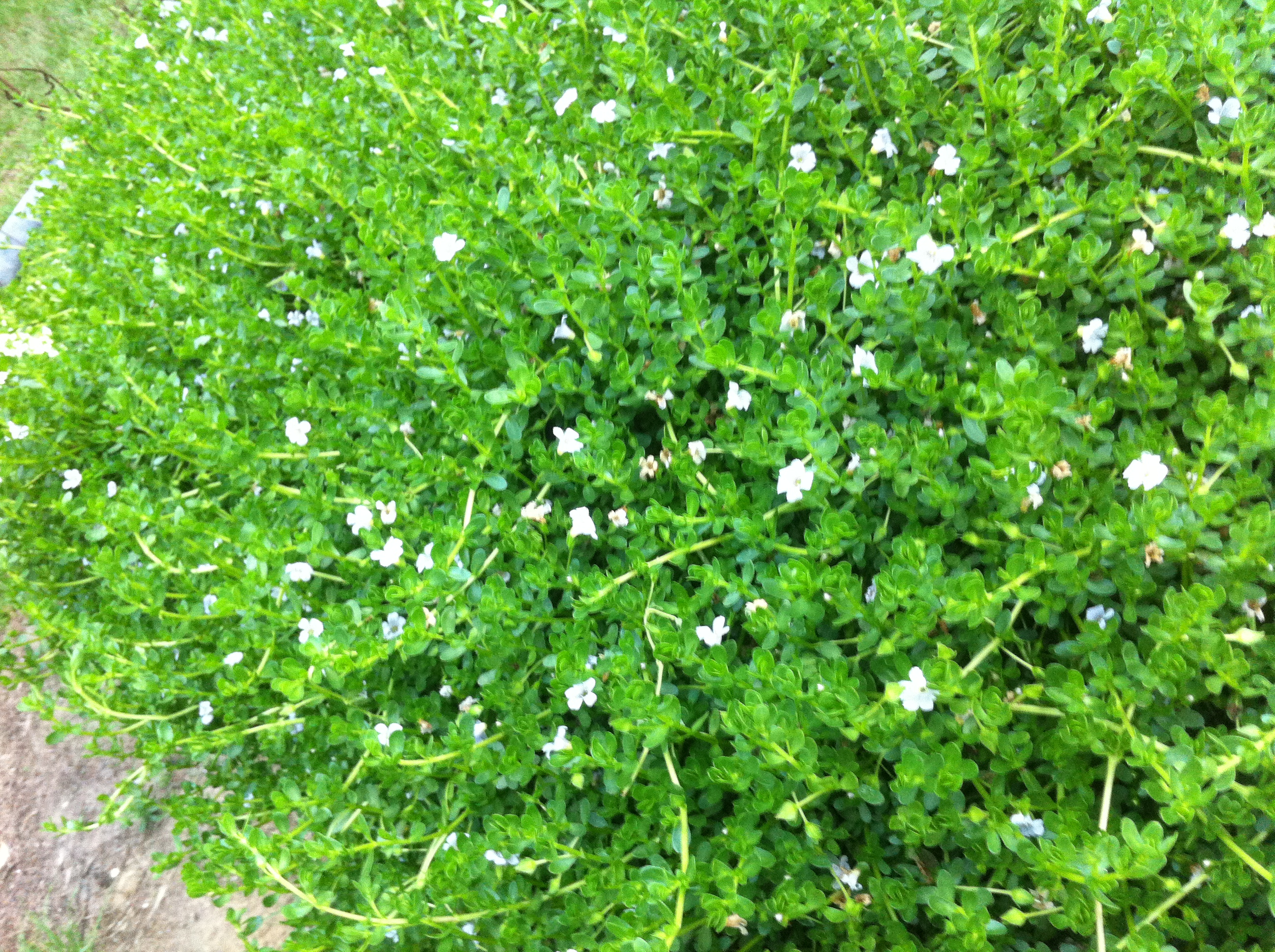 Brahmi - Memory Herb