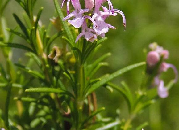 Pink Flowering Rosemary