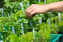 Picking herbs at Basilea Farm