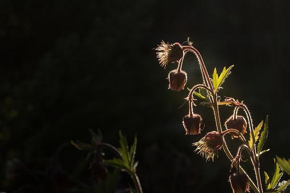 Fleurs de Bach - Retrouver espoir, joie de vivre, clarté d'esprit, amour, affirmation, deuil...