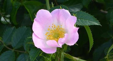 Wild Rose - Fleur de Bach - Baptiste Gobetti - Oullins