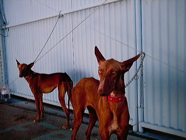Hundeaustellung Fuerte Oktober 2001 (1)