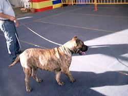 Hundeaustellung Fuerte Oktober 2001 (51)