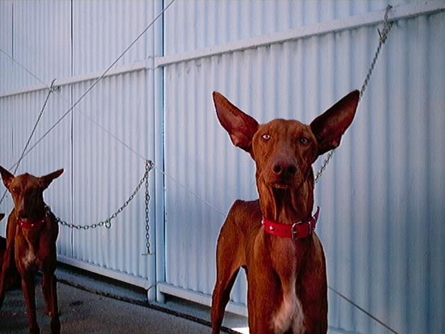 Hundeaustellung Fuerte Oktober 2001 (10)
