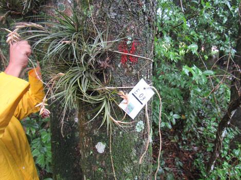 Resgate de epífitas garante preservação da biodiversidade local
