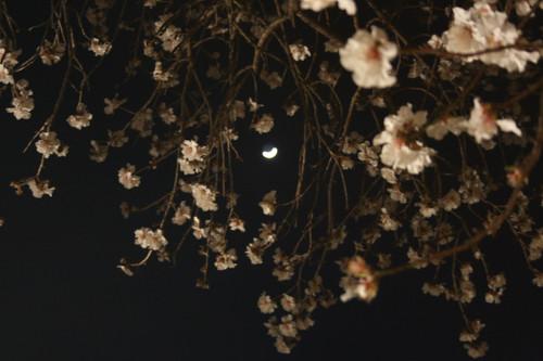 Des branches d'amandier fleuries au premier plan et la lune au travers se découpant sur le ciel la nuit