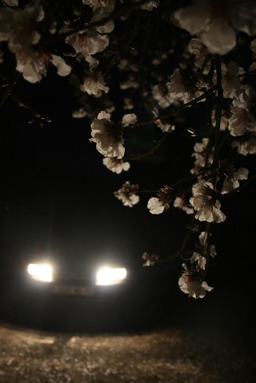 Branche d'amandier fleurie au premier plan et voiture avec feux allumés en second plan la nuit