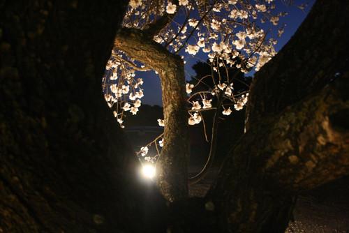 Un amandier fleuri au premier plan et la lumière d'un phare de voiture perçant au travers, la nuit